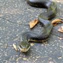 Texas Ratsnake (Black Rat Snake)