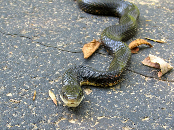 Texas Ratsnake (Black Rat Snake)   Project Noah