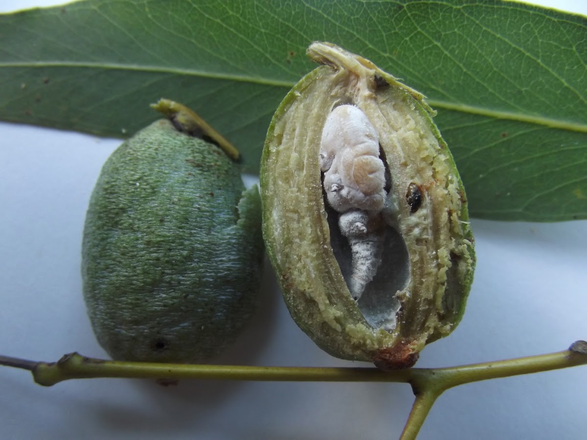 Acorn gall dissection
