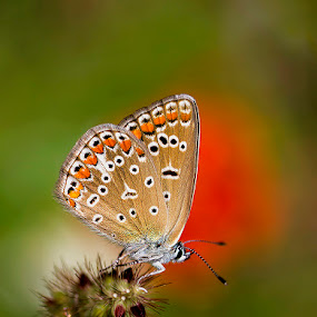 butterfly by Naiden Bochev - Animals Insects & Spiders ( butterfly, macro, nature, nature up close, insects )