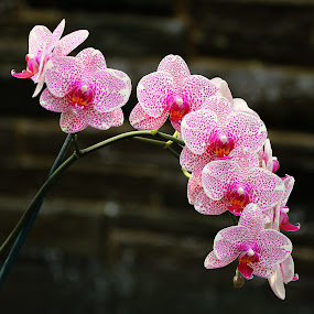 Orchid in the Garden by Sharon Horn - Flowers Flower Gardens ( orchid flower, orchid, pink, flower, garden flower )