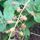 Allegheny blackberry