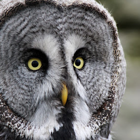 Great Grey Owl by Milan Horejsi - Animals Birds ( bird, nature, owl, wildlife )