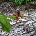 Thirteen Year Cicada (Brood XIX)