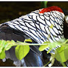 The Lady Amherst's Pheasant