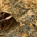 Common Treebrown