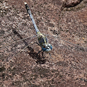 Blue Ground Skimmer