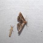 Black-banded Owlet Moth