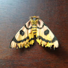 Common Sheepmoth