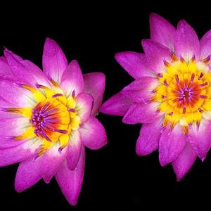 2 water lilys.jpg
