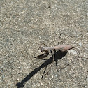 Brown Praying Mantis