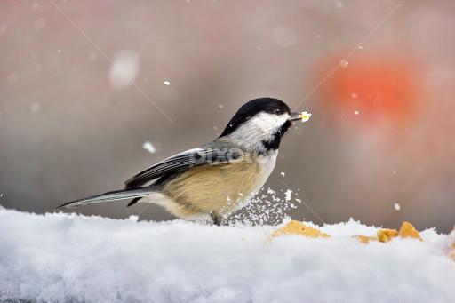 winter snow bird birds animals pixoto