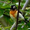 Hybrid Black-headed X Rose-breasted Grosbeak