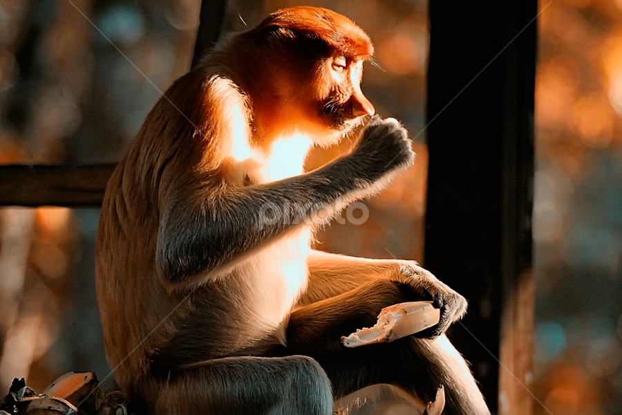 by Borneo Photography - Animals Other Mammals