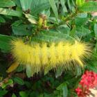 Tussock moth caterpillar