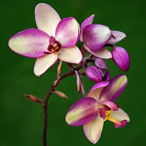 Orchid by Shobin George - Flowers Flower Gardens ( orchid, flower )