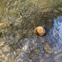 Fresh Water Clam