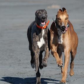 Togetherness by Karin Bennett - Animals - Dogs Running ( playing, beach, greyhounds. running )