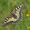 Old World Swallowtail  - Machaon