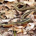 Northern Ribbon Snake