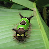 Saddleback Caterpillar