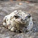 Copes Grays Tree Frog