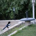 Black necked Magpie
