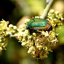 Fig Beetle