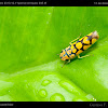 Yellow spotted planthopper
