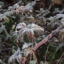 planta de la frambuesa
