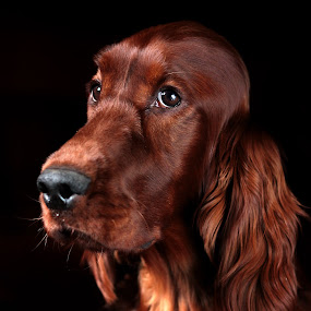 Rohan by Ken Jarvis - Animals - Dogs Portraits ( irish setter )