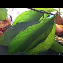 Juvenile Avocado Tree