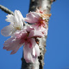 Winter Cherry Blossom (寒桜)
