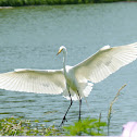 Great Egret (Heron)