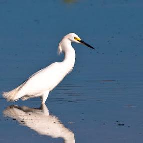 Snowy Egret by Bob Barrett - Animals Birds ( water, bird, lake, snowy egret, egret )