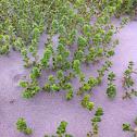 Seaweed sandwort
