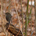 red-flanked bluetail (female)