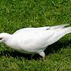 White Feral Pigeon