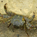 Unknown Crab
