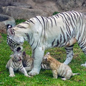 White tiger mom by Maritere Izaguirre - Animals Lions, Tigers & Big Cats ( tiger, animal,  )