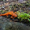 Red Eft (Eastern Newt)