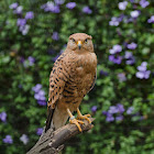 White-eyed Kestrel