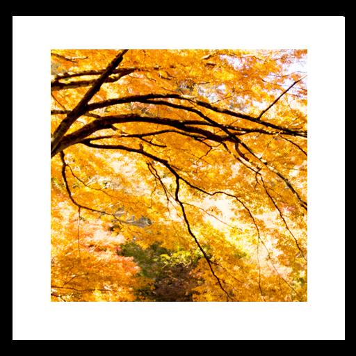 가을노란단풍라이브배경 娛樂 App LOGO-硬是要APP