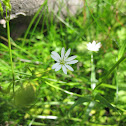 Common stitchwort