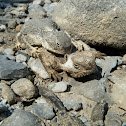 Roundtail horned lizard