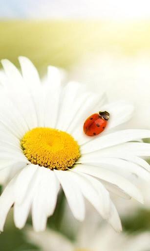 The Ladybug Wallpapers