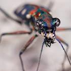 Cicindelidae