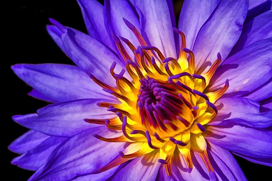 Purple Passion by Teresa Jack - Flowers Single Flower ( water, purple, lily, flower )