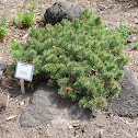 mugo pine 'Valley Cushion'