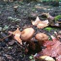 Light brown mushroom